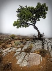 Collas-Tree